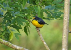 Yellow-throated Euphonia 3-20-2015